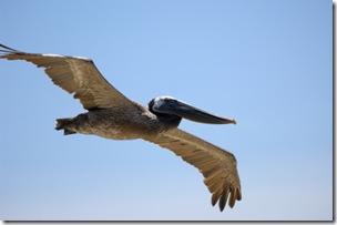 pelicanflight