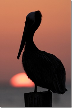 pelicansunset